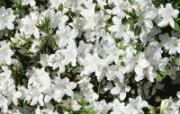 白色花朵 4 15 白色花朵 花卉壁纸