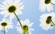 白色花朵 4 10 白色花朵 花卉壁纸