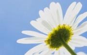 白色花朵 4 9 白色花朵 花卉壁纸