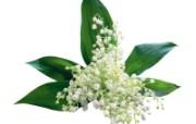 白色花朵 4 8 白色花朵 花卉壁纸