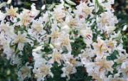 白色花朵 4 6 白色花朵 花卉壁纸