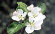 白色花朵 4 3 白色花朵 花卉壁纸
