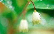 铃兰花图片 铃兰壁纸 lily of the valey desktop wallpaper 白色铃兰花 lilies of the valley 花卉壁纸