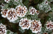冰雪植物 2 12 冰雪植物 花卉壁纸