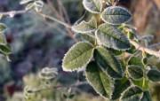 冰雪植物 2 10 冰雪植物 花卉壁纸