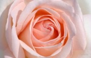 Meilland 玫瑰名品 Andre Le Notre桌面壁纸 法国 Meilland 玫昂玫瑰壁纸 花卉壁纸