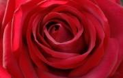 Meilland 玫瑰名品 Edith Piaf桌面壁纸 法国 Meilland 玫昂玫瑰壁纸 花卉壁纸