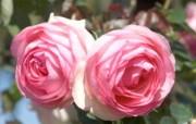 Meilland 玫瑰名品 Pierre de Rronsard桌面壁纸 法国 Meilland 玫昂玫瑰壁纸 花卉壁纸