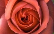 玫昂玫瑰名品 Terracotta桌面壁纸 法国 Meilland 玫昂玫瑰壁纸 花卉壁纸