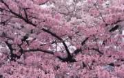樱花图片樱花壁纸 Cherry blossom Photos Cherry blossom Wallpaper 繁花似锦花卉摄影壁纸 花卉壁纸