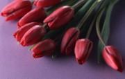 郁金香图片郁金香壁纸 Flower tulip Photos Flower Wallpaper 繁花似锦花卉摄影壁纸 花卉壁纸