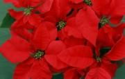 圣诞红图片 圣诞红壁纸 Poinsettia Desktop Poinsettia Photos 繁花似锦花卉摄影壁纸 花卉壁纸