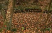 枫叶满地 2 4 枫叶满地 花卉壁纸