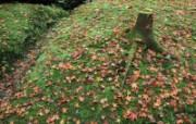 枫叶满地 2 3 枫叶满地 花卉壁纸