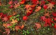 枫叶满地 2 2 枫叶满地 花卉壁纸