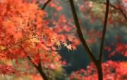 枫叶满天 3 18 枫叶满天 花卉壁纸