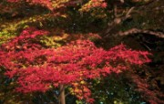 枫叶满天 3 9 枫叶满天 花卉壁纸