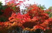 枫叶满天 3 7 枫叶满天 花卉壁纸