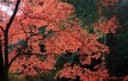 枫叶满天 3 6 枫叶满天 花卉壁纸