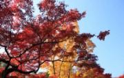 枫叶满天 3 5 枫叶满天 花卉壁纸