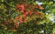 枫叶满天 2 11 枫叶满天 花卉壁纸