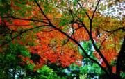 枫叶秋叶 2 49 枫叶秋叶 花卉壁纸