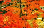 枫叶秋叶 2 37 枫叶秋叶 花卉壁纸