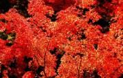 枫叶秋叶 2 33 枫叶秋叶 花卉壁纸
