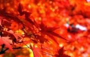 枫叶秋叶 2 32 枫叶秋叶 花卉壁纸