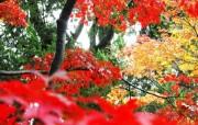 枫叶秋叶 2 31 枫叶秋叶 花卉壁纸