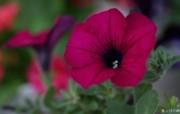 花卉市场 高清花卉摄影 1920 1200 第十辑 红色喇叭花 牵牛花壁纸 高清花卉摄影十 花卉壁纸