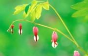 6种尺寸 荷包牡丹图片壁纸 Professional flower photography 韩国花卉摄影集 花卉壁纸