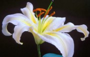 百合花的图片壁纸 flower lily Desktop wallpaper 花卉摄影系列百合花 花卉壁纸