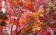 宽屏红叶 花卉壁纸