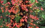 宽屏红叶 2 12 宽屏红叶 花卉壁纸