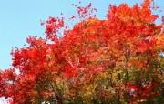 宽屏红叶 2 5 宽屏红叶 花卉壁纸