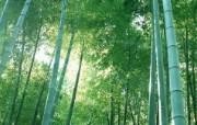 绿色竹林 2 20 绿色竹林 花卉壁纸