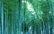 绿色竹林 2 19 绿色竹林 花卉壁纸