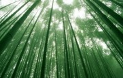 绿色竹林 2 17 绿色竹林 花卉壁纸