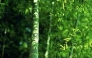 绿色竹林 2 14 绿色竹林 花卉壁纸