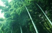绿色竹林 2 13 绿色竹林 花卉壁纸