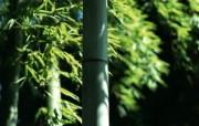 绿色竹林 2 9 绿色竹林 花卉壁纸
