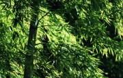 绿色竹林 2 6 绿色竹林 花卉壁纸
