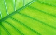 绿叶写真 8 7 绿叶写真 花卉壁纸