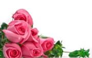 玫瑰写真 5 15 玫瑰写真 花卉壁纸