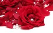 玫瑰写真 5 13 玫瑰写真 花卉壁纸