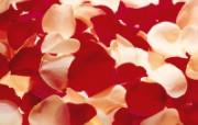 玫瑰写真 5 12 玫瑰写真 花卉壁纸