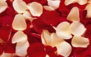 玫瑰写真 5 11 玫瑰写真 花卉壁纸