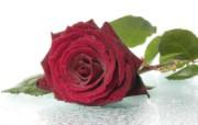 玫瑰写真 5 10 玫瑰写真 花卉壁纸