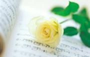 玫瑰写真 5 5 玫瑰写真 花卉壁纸